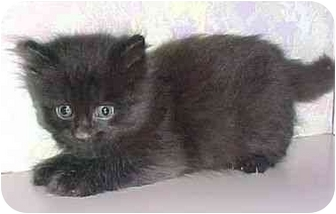 Domestic Shorthair Kitten for adoption in North Judson, Indiana - Tadd