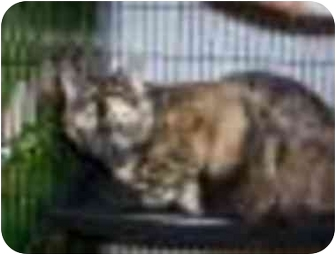 Domestic Shorthair Cat for adoption in San Diego/North County, California - Chrissy