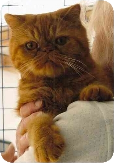 Exotic Cat for adoption in Davis, California - Red Fred
