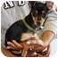 Photo 2 - Manchester Terrier Puppy for adoption in Coral Springs, Florida - Gracie