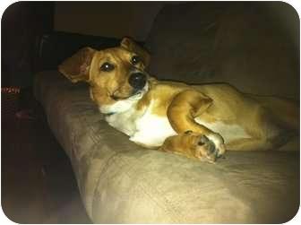 Dachshund Mix Dog for adoption in Arlington, Texas - Ava