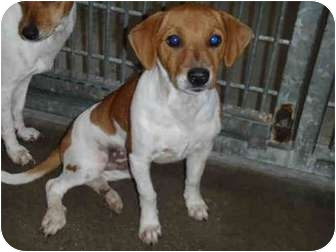 Jack Russell Terrier/Whippet Mix Puppy for adoption in West Los Angeles, California - Phoebe(URGENT)