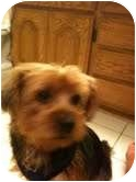 Yorkie, Yorkshire Terrier Mix Dog for adoption in Orange, California - Watson