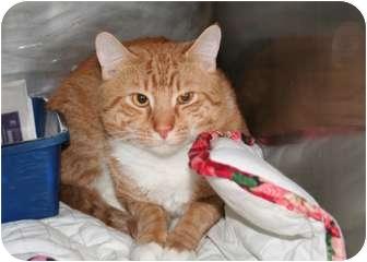 American Shorthair Cat for adoption in Islip, New York - Morris