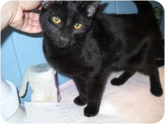 Domestic Shorthair Cat for adoption in Trenton, New Jersey - Onyx #10