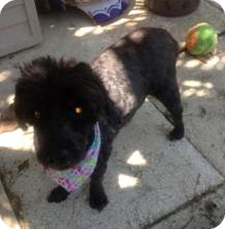 Schnauzer (Miniature)/Poodle (Miniature) Mix Dog for adoption in Mary Esther, Florida - Snoopy