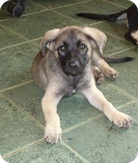 German Shepherd Dog/Labrador Retriever Mix Puppy for adoption in Glastonbury, Connecticut - Shasta