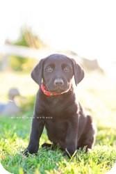 Labrador Retriever Mix Puppy for adoption in West Richland, Washington - Liberty
