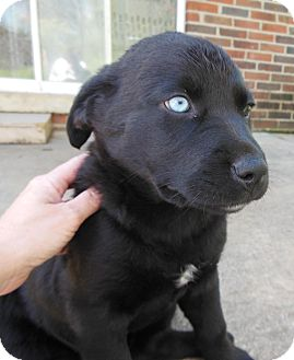 Labrador Retriever/Rottweiler Mix Puppy for adoption in maryville, Tennessee - Ava