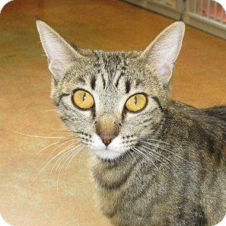Domestic Shorthair Cat for adoption in Denver, Colorado - Benita