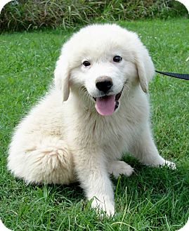 Great Pyrenees Mix Puppy for adoption in Salem, New Hampshire - PUPPY BRISTOL
