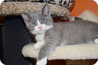 Domestic Shorthair Kitten for adoption in Benbrook, Texas - Theon