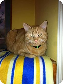 Domestic Shorthair Cat for adoption in Clarksville, Indiana - Trouble