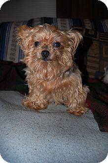 Yorkie, Yorkshire Terrier Dog for adoption in Charlotte, North Carolina - Roxy