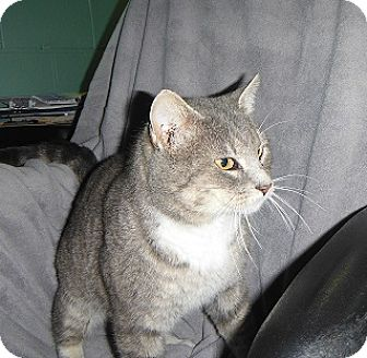 Domestic Shorthair Cat for adoption in Morristown, Tennessee - Isaac