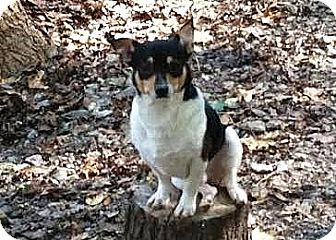 Rat Terrier/Chihuahua Mix Dog for adoption in Cleveland, Georgia - Bandit