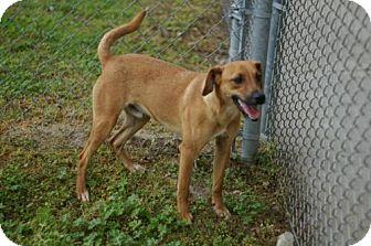 Carolina Dog Mix Dog for adoption in Tyner, North Carolina - Beamer