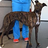 Adopt A Pet :: Grace - Tampa, FL