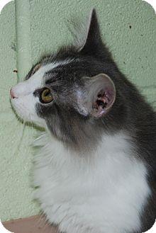 Domestic Mediumhair Kitten for adoption in Salem, West Virginia - Melon