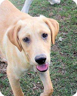 Labrador Retriever Mix Dog for adoption in Williston, Vermont - Chevy