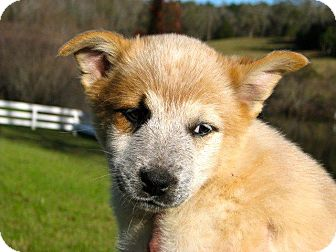 Australian Cattle Dog/Labrador Retriever Mix Puppy for adoption in Westwood, New Jersey - Holly