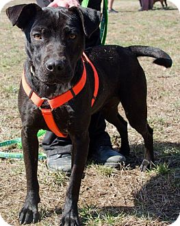 Labrador Retriever Mix Dog for adoption in Midlothian, Virginia - Nala