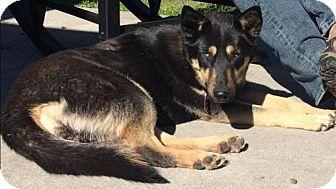 Shepherd (Unknown Type)/Husky Mix Dog for adoption in Wilmington, North Carolina - MILEY