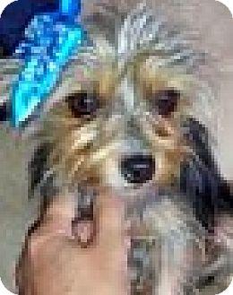 Yorkie, Yorkshire Terrier Dog for adoption in Boulder, Colorado - Kimmy-ADOPTION PENDING
