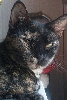 Domestic Shorthair Cat for adoption in Bertram, Texas - Sierra