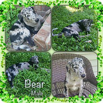 Labrador Retriever/Catahoula Leopard Dog Mix Puppy for adoption in East Hartford, Connecticut - Bear Adoption pending