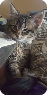 Domestic Mediumhair Kitten for adoption in Livonia, Michigan - C3 Litter-Mila-ADOPTED
