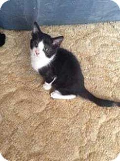 Domestic Shorthair Cat for adoption in Calimesa, California - Hunter