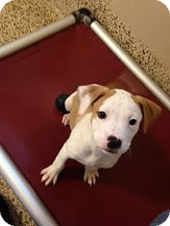 Pit Bull Terrier Mix Puppy for adoption in Aiken, South Carolina - Shortcake