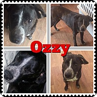 Adopt A Pet :: Ozzy - chicago, IL