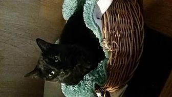 Domestic Shorthair Cat for adoption in Morgan Hill, California - Elvira