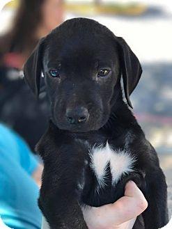 Labrador Retriever/Black Mouth Cur Mix Puppy for adoption in Wichita Falls, Texas - Gru