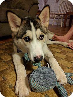 Husky/Collie Mix Puppy for adoption in Ottawa, Ontario - Titan