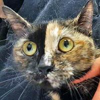 Adopt A Pet :: Shelly - Noblesville, IN