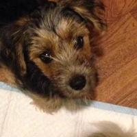Adopt A Pet :: Harverd - Dover, DE