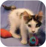 Domestic Mediumhair Kitten for adoption in Walker, Michigan - Buttons 'Cali'