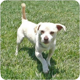 Chihuahua Mix Dog for adoption in San Clemente, California - RYAN