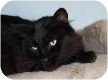 Domestic Longhair Cat for adoption in Modesto, California - Mr. Muffin