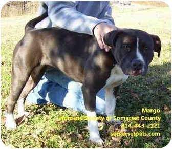 American Pit Bull Terrier Mix Dog for adoption in Somerset, Pennsylvania - Margo