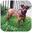 Photo 3 - Bloodhound/German Shepherd Dog Mix Puppy for adoption in Baldwin, New York - Fraazer