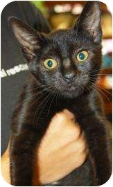 Domestic Shorthair Kitten for adoption in Brooklyn, New York - Daphney