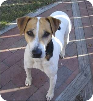 Jack Russell Terrier Mix Dog for adoption in Greenville, North Carolina - Pluto
