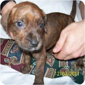 Boxer Mix Puppy for adoption in Bel Air, Maryland - Grace