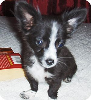 Chihuahua/Dachshund Mix Puppy for adoption in Chandler, Arizona - Patches
