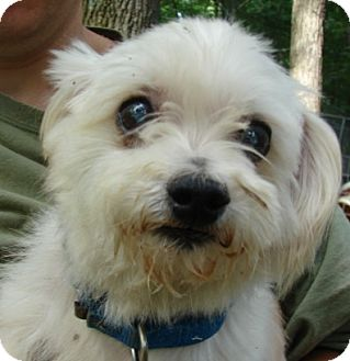 Poodle (Miniature) Dog for adoption in Afton, Tennessee - Joey