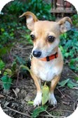 Chihuahua Mix Dog for adoption in Encino, California - Mouse